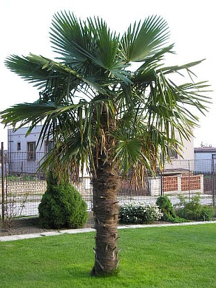 270 cm hanfpalme trachycarpus fortunei plein air palme duret 19 c ebay. Black Bedroom Furniture Sets. Home Design Ideas