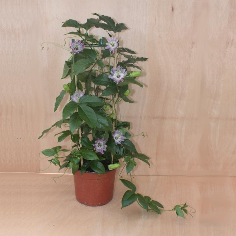 passiflora sandra passionsblume im 19 cm topf ebay. Black Bedroom Furniture Sets. Home Design Ideas