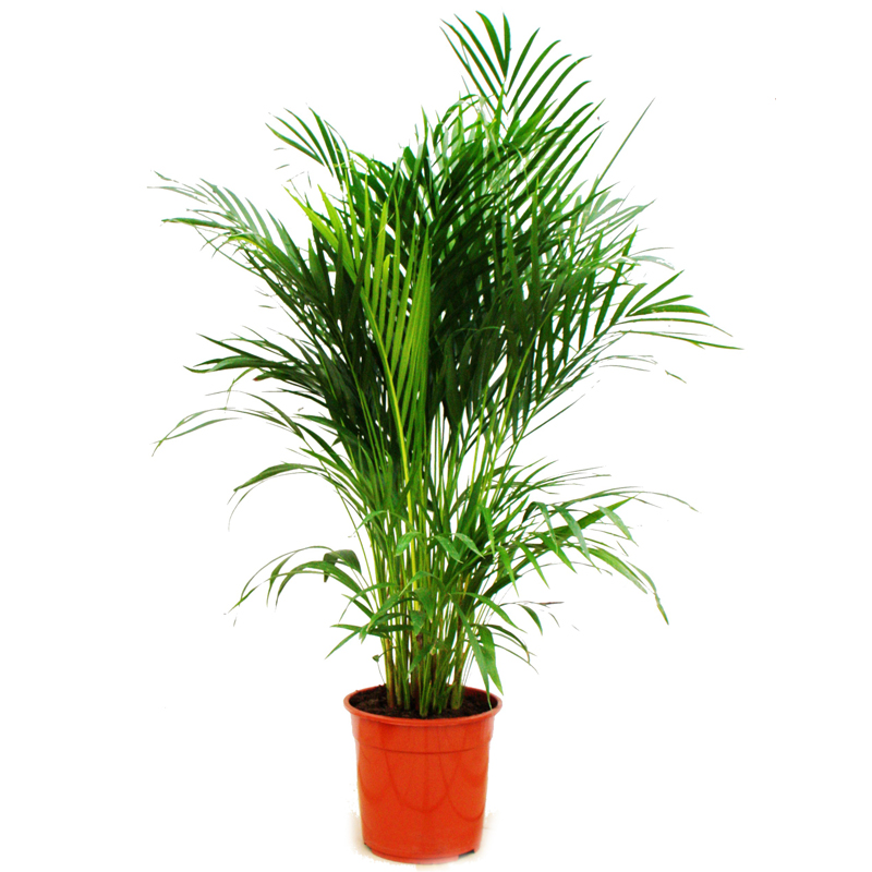zimmerpalme chrysalidocarpus lutescens areca palme zimmerpflanze ebay. Black Bedroom Furniture Sets. Home Design Ideas