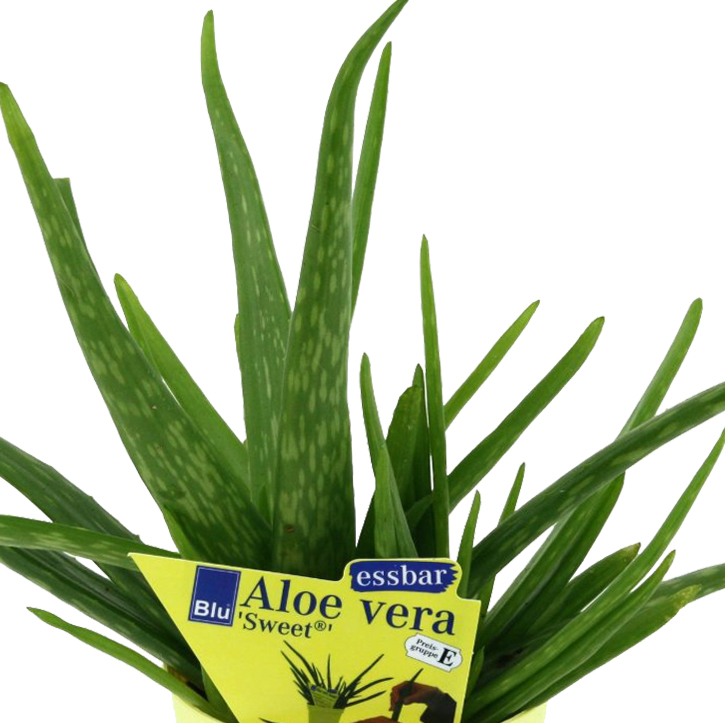 aloe vera 39 sweet 39 aloe vera barbadensis miller 2 pflanzen ebay. Black Bedroom Furniture Sets. Home Design Ideas