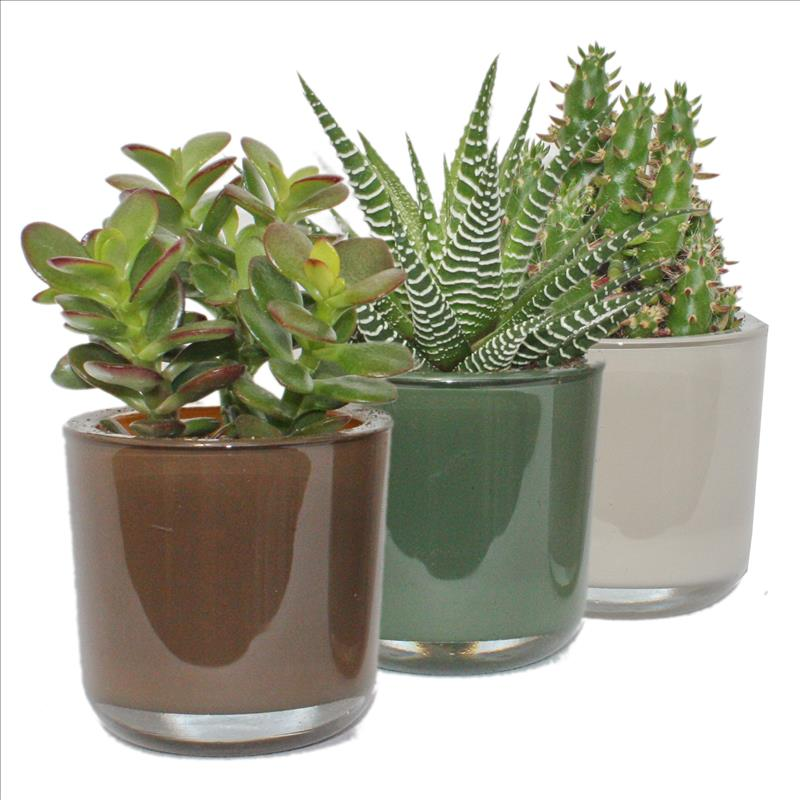 Sukkulenten Set im Glas Colours of Nature  ~ 14184022_Sukkulenten Pflanzen Im Glas