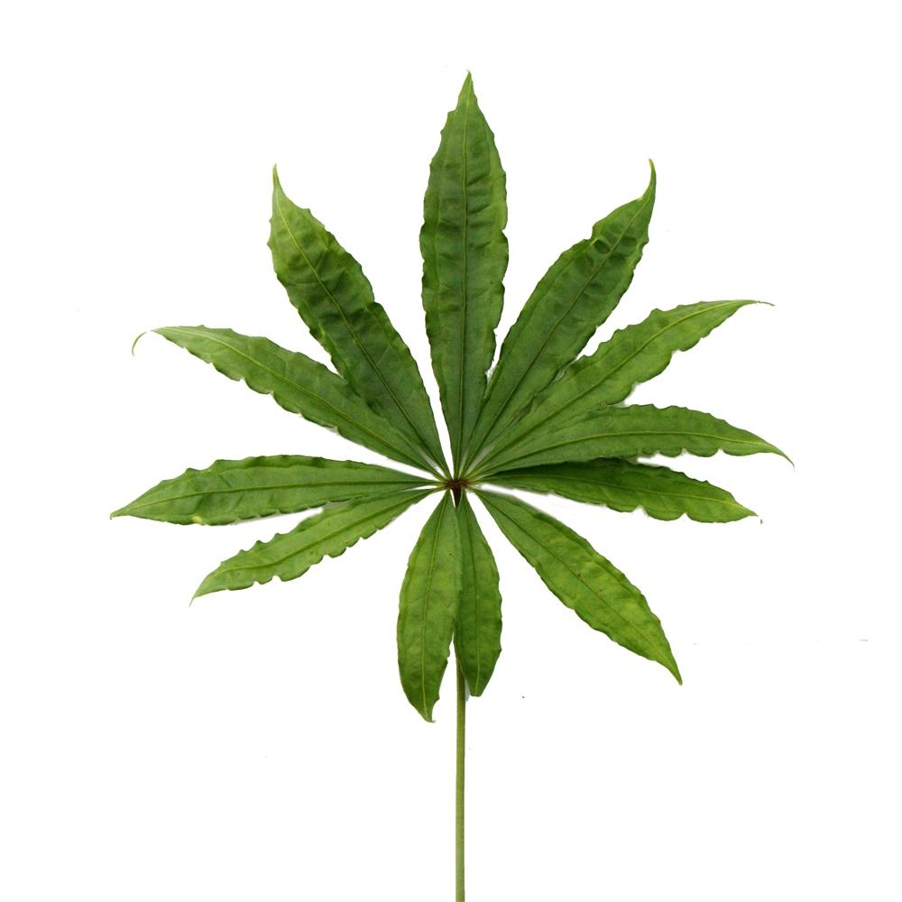 anthurium polyschistum tweed falsches cannabis falsches marihuana. Black Bedroom Furniture Sets. Home Design Ideas