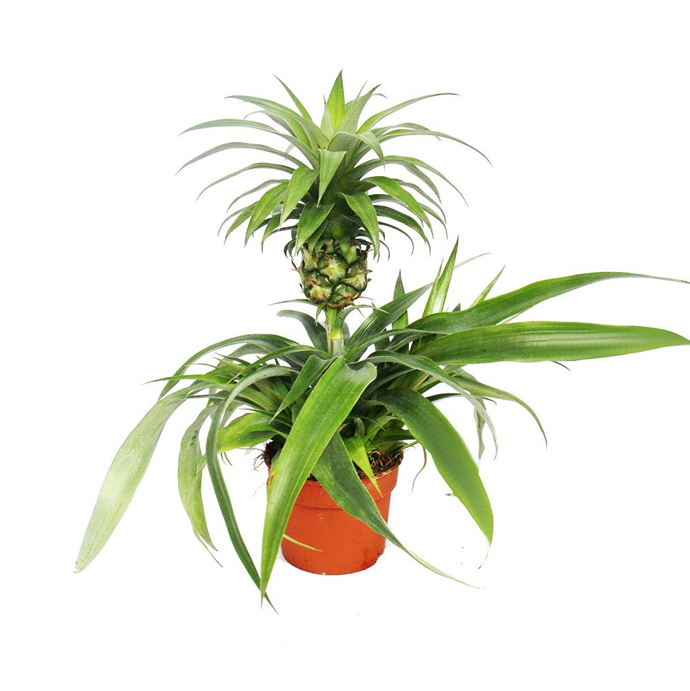 Grünpflanzen Green Plants Zimmerpflanzen: Ananas Champaca - Zierananas Zimmerpflanze