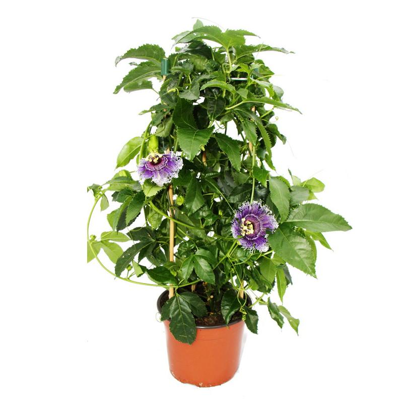 passiflora byron beauty passionsblume im 19 cm topf ebay. Black Bedroom Furniture Sets. Home Design Ideas