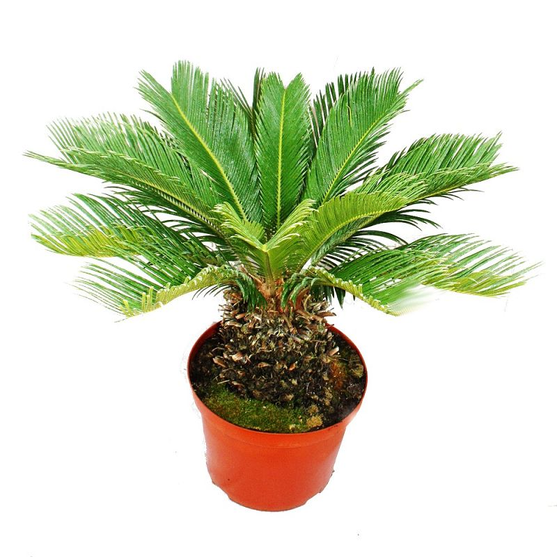 japanischer palmfarn cycas revoluta palme mit dicken alten knollen ebay. Black Bedroom Furniture Sets. Home Design Ideas
