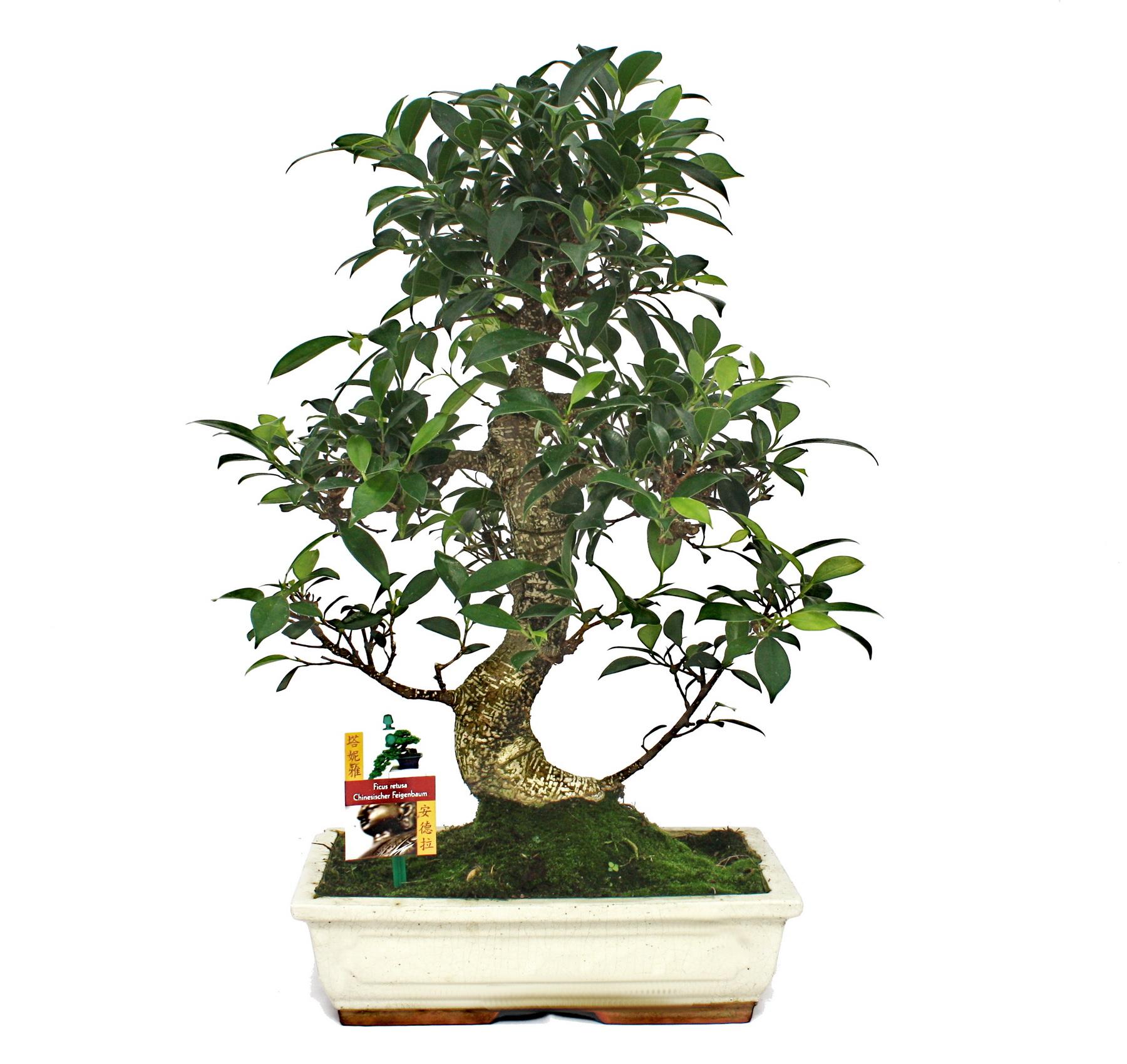 bonsai chino feigenbaum ficus retusa aprox 12 15 a os ebay. Black Bedroom Furniture Sets. Home Design Ideas