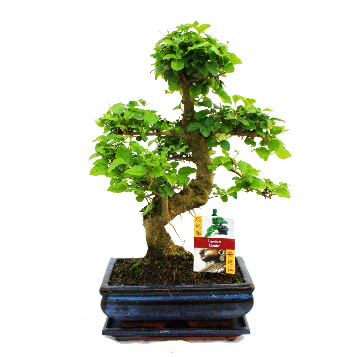 bonsai chinesischer liguster ligustrum sinensis ca 8 jahre ebay. Black Bedroom Furniture Sets. Home Design Ideas