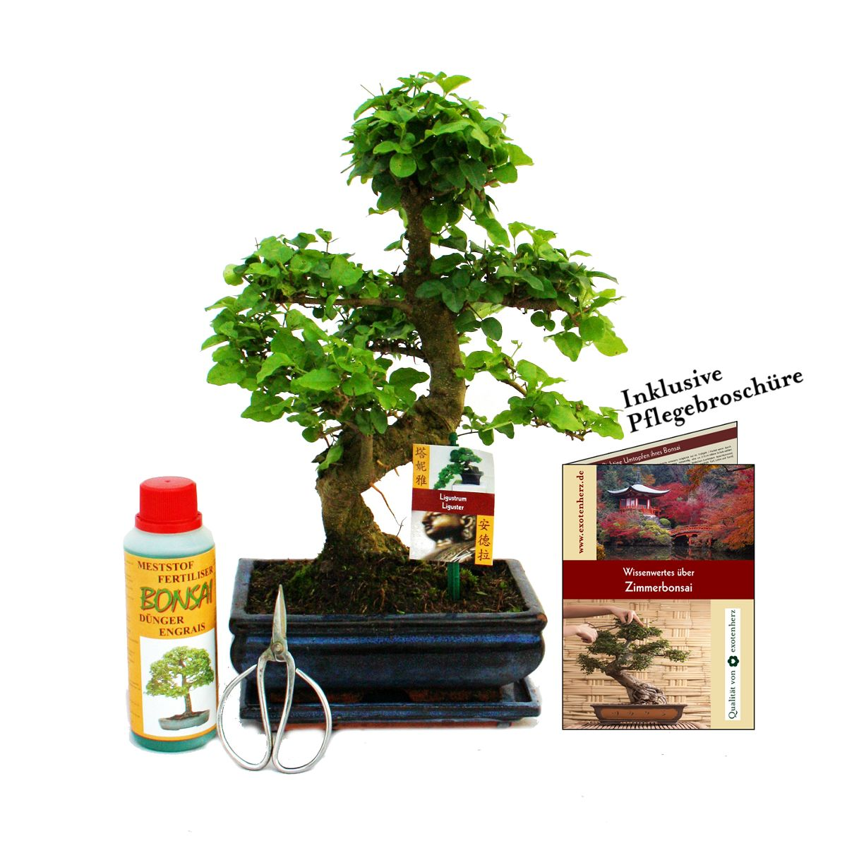 ligustrum geschenkset bonsai chinesischer liguster ca 8 jahre alt. Black Bedroom Furniture Sets. Home Design Ideas