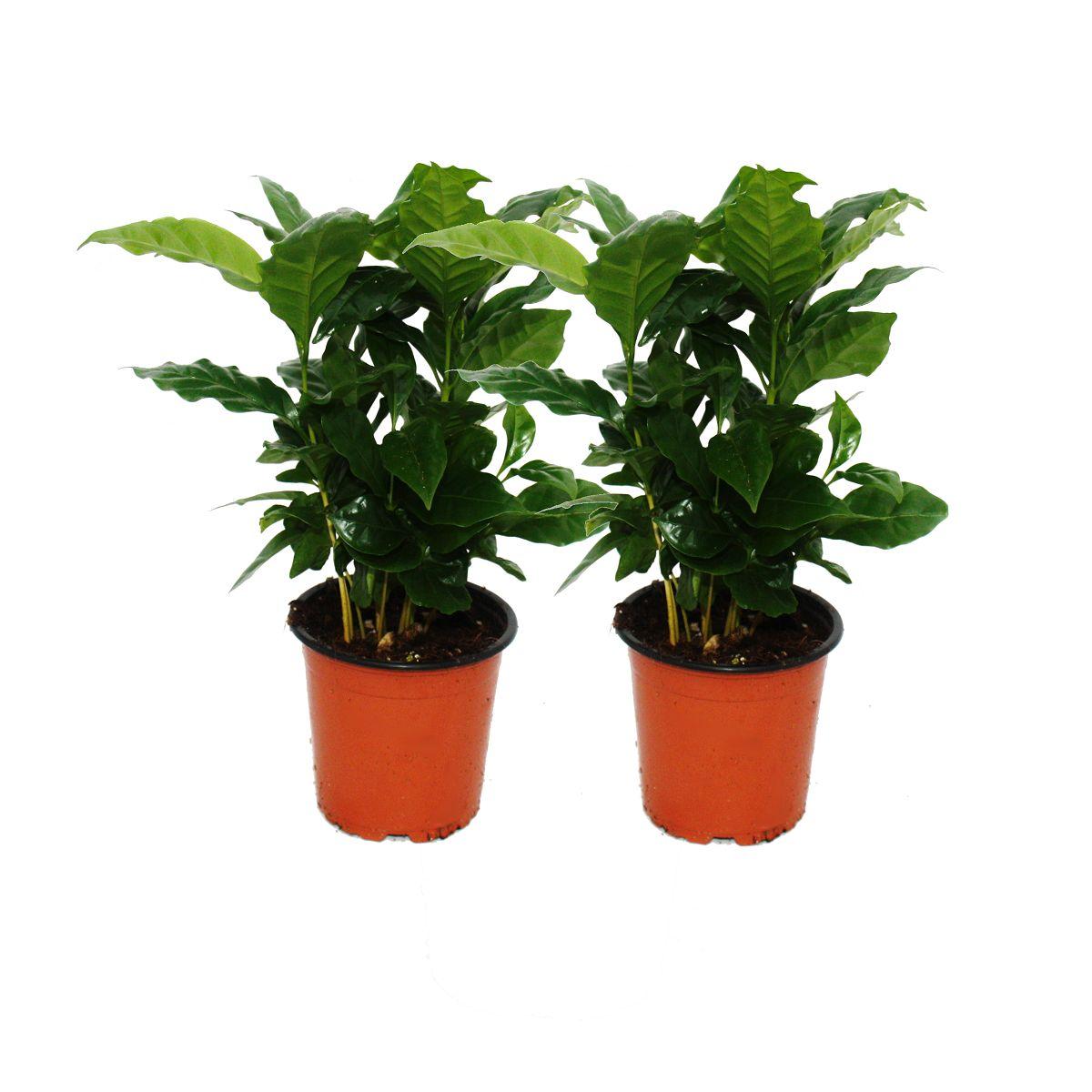 kaffee pflanze coffea arabica 2 pflanze zimmerpflanze. Black Bedroom Furniture Sets. Home Design Ideas