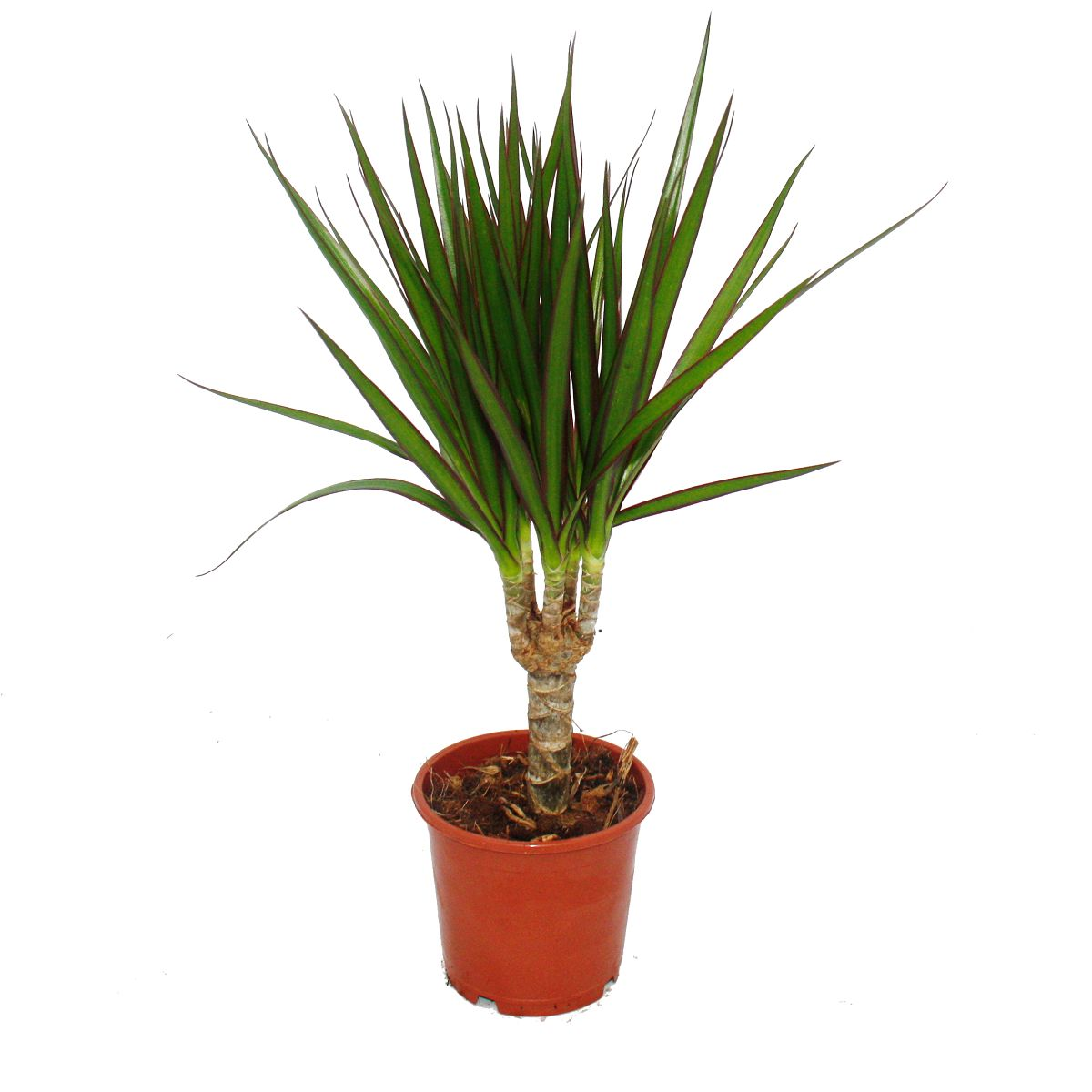 drachenbaum dracaena marginata 1 pflanze pflegeleichte zimmerpflanze. Black Bedroom Furniture Sets. Home Design Ideas