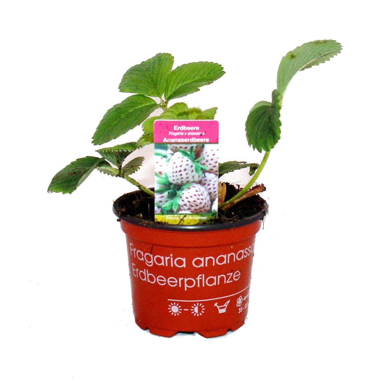 weisse ananas erdbeere set mit 3 pflanzen fragaria ausgefallene sorte ebay. Black Bedroom Furniture Sets. Home Design Ideas