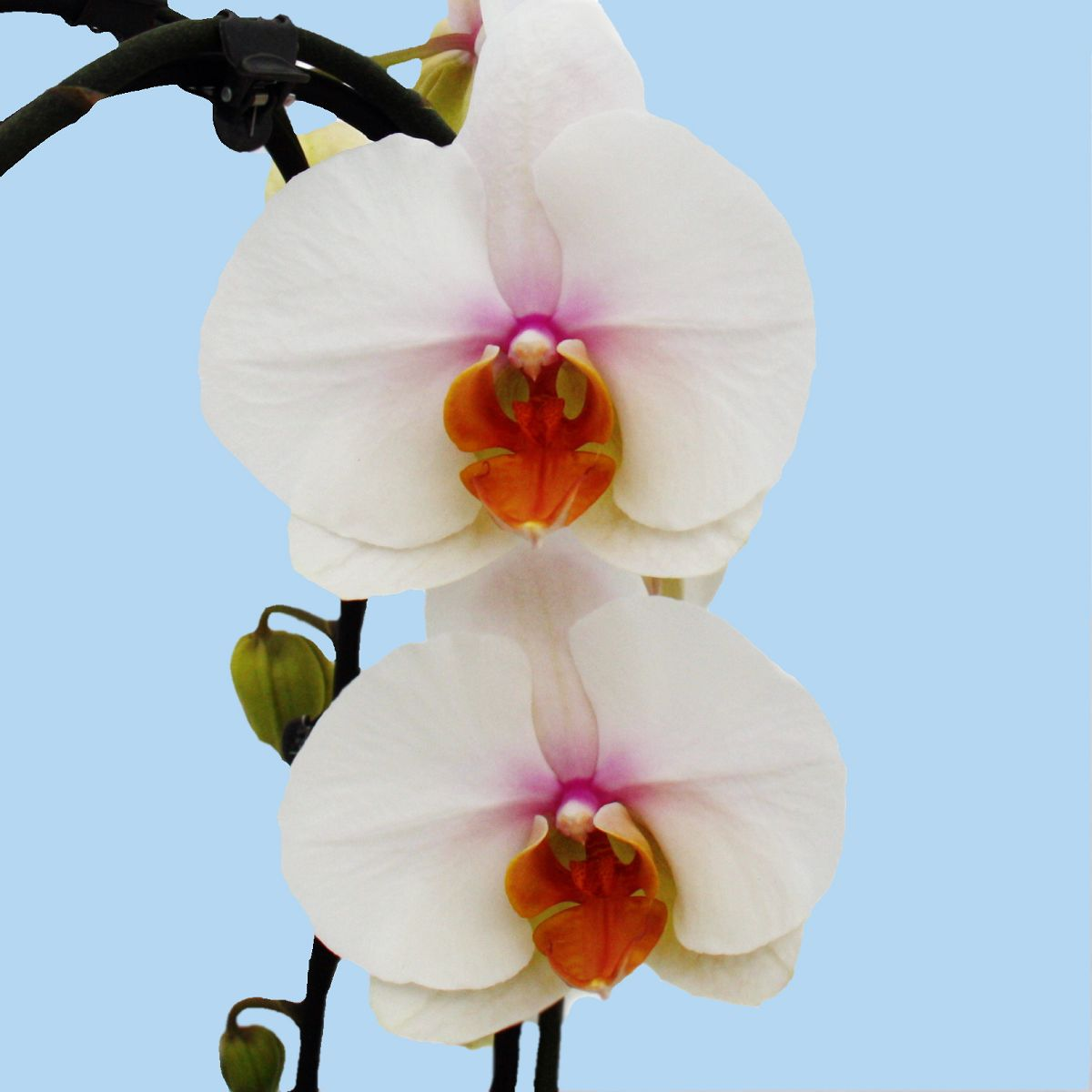orchid e phalaenopsis eye catcher 2 triebig cascade fleurs blanches. Black Bedroom Furniture Sets. Home Design Ideas