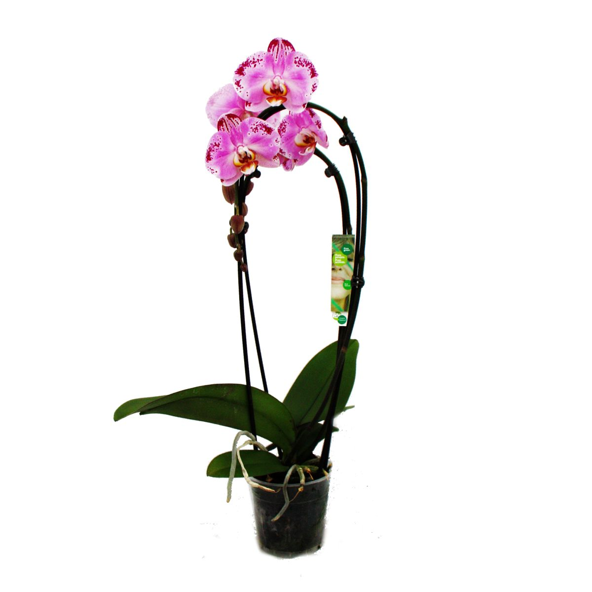 orchidee phalaenopsis pink dancer 2 triebig kaskade ebay. Black Bedroom Furniture Sets. Home Design Ideas
