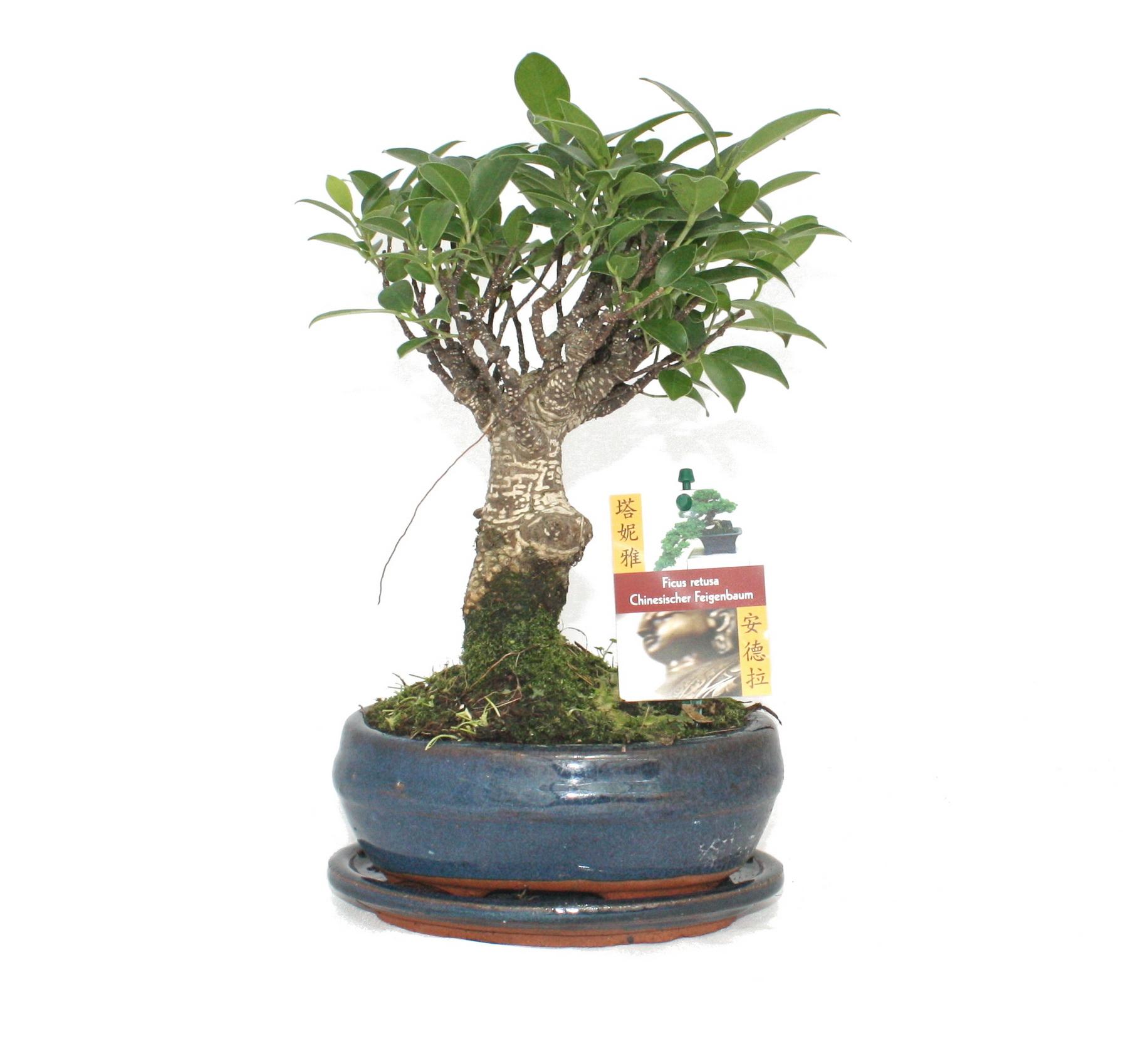 bonsai chinesischer feigenbaum ficus retusa ca 6 jahre kugelform. Black Bedroom Furniture Sets. Home Design Ideas