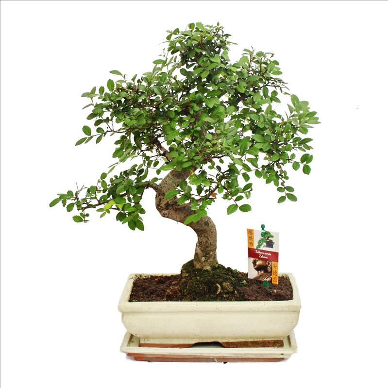 bonsai chinesische ulme ulmus parviflora ca 8 jahre. Black Bedroom Furniture Sets. Home Design Ideas
