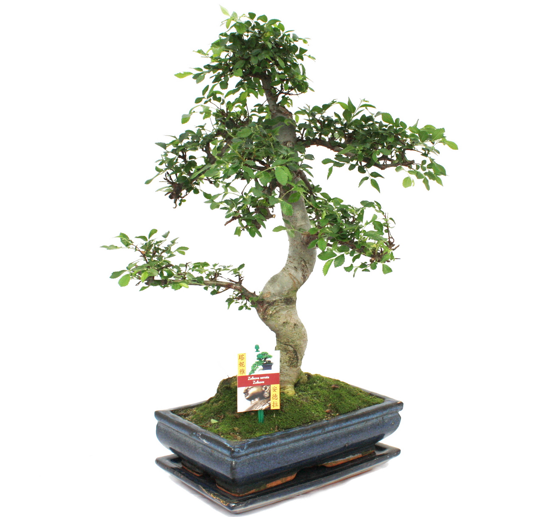 bonsai chinesische ulme ulmus parviflora ca 12 15 jahre ebay. Black Bedroom Furniture Sets. Home Design Ideas
