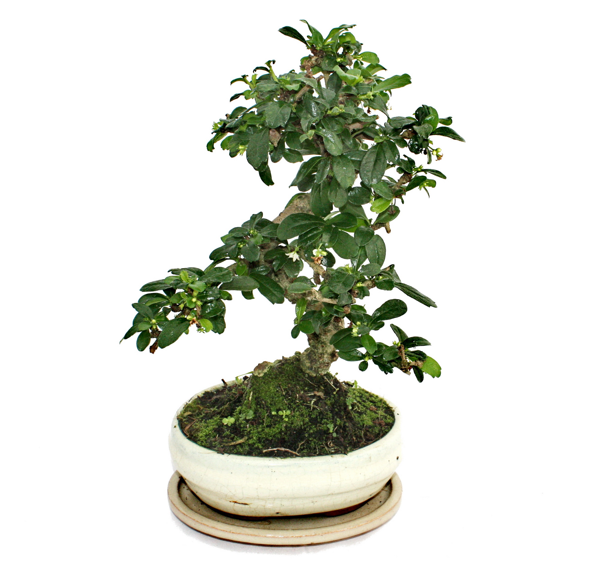 bonsai fukientee carmona microphylla ca 6 jahre. Black Bedroom Furniture Sets. Home Design Ideas