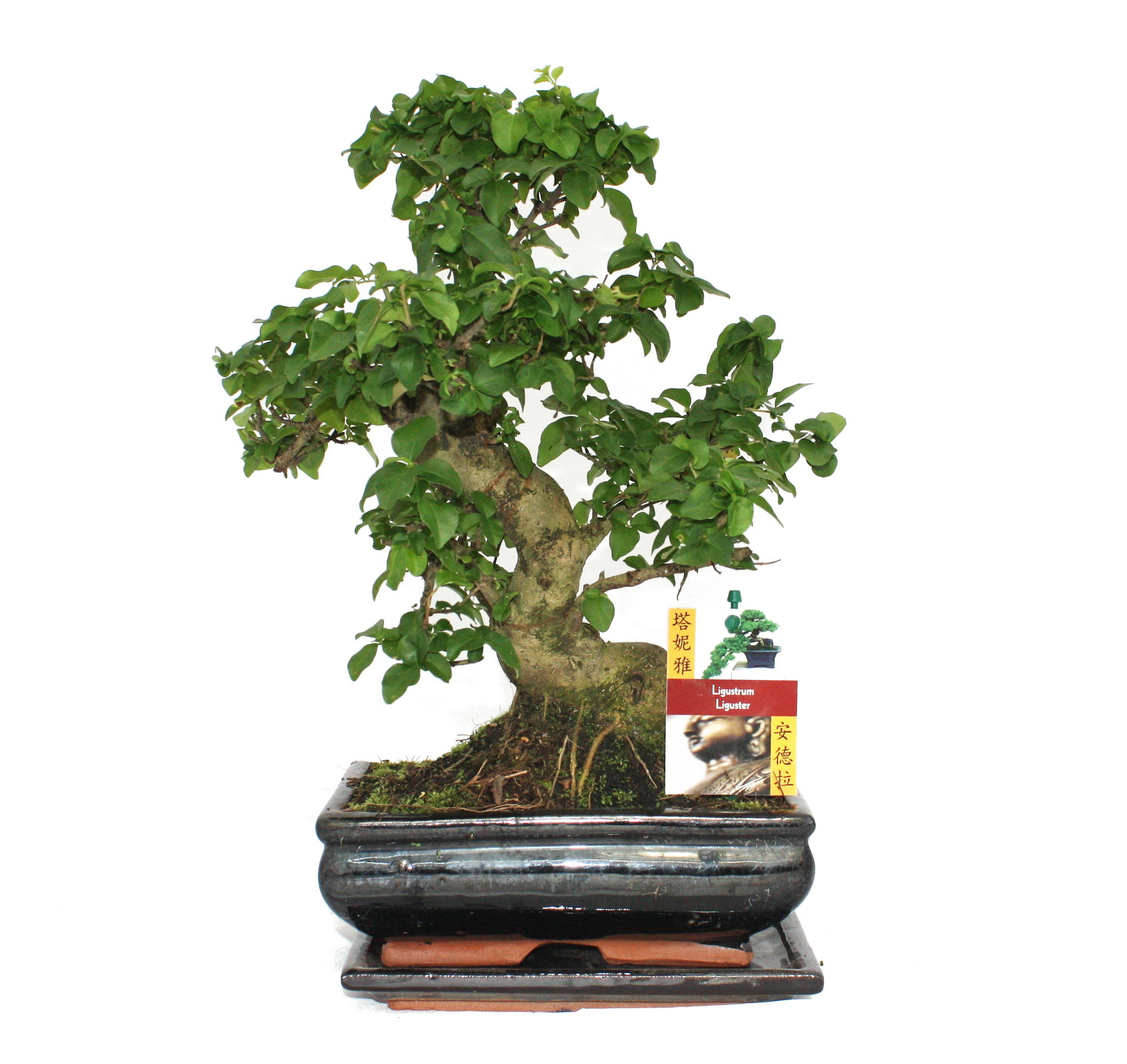 bonsai chinesischer liguster ca 8 jahre ebay. Black Bedroom Furniture Sets. Home Design Ideas