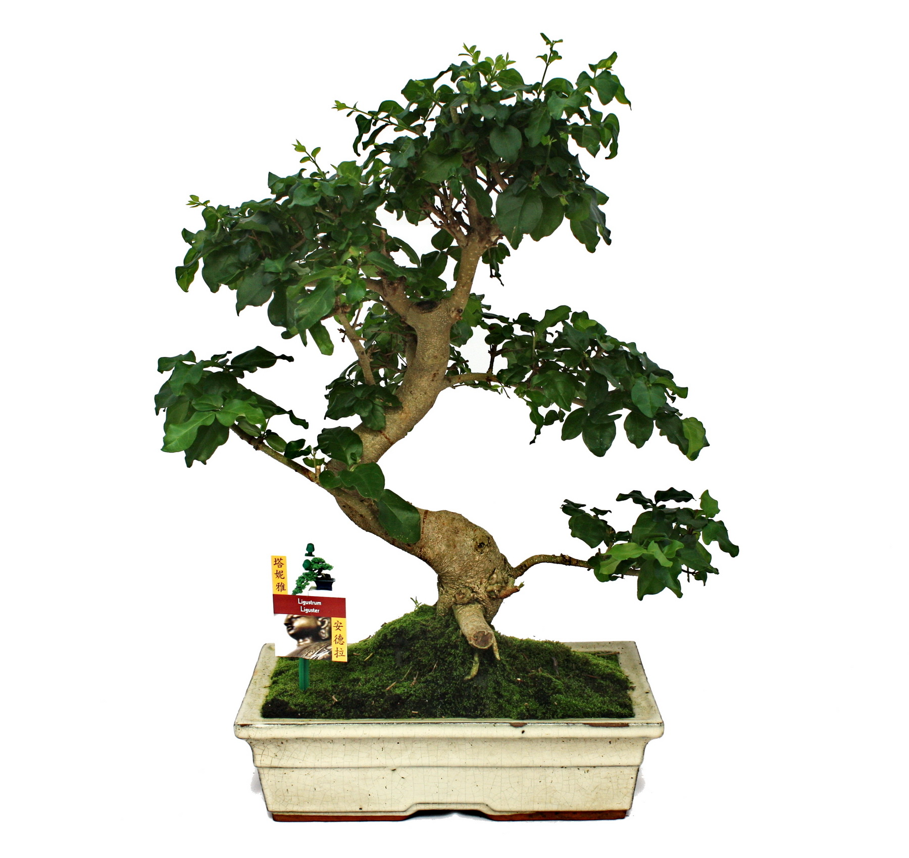 bonsai chinesischer liguster ca 12 15 jahre. Black Bedroom Furniture Sets. Home Design Ideas