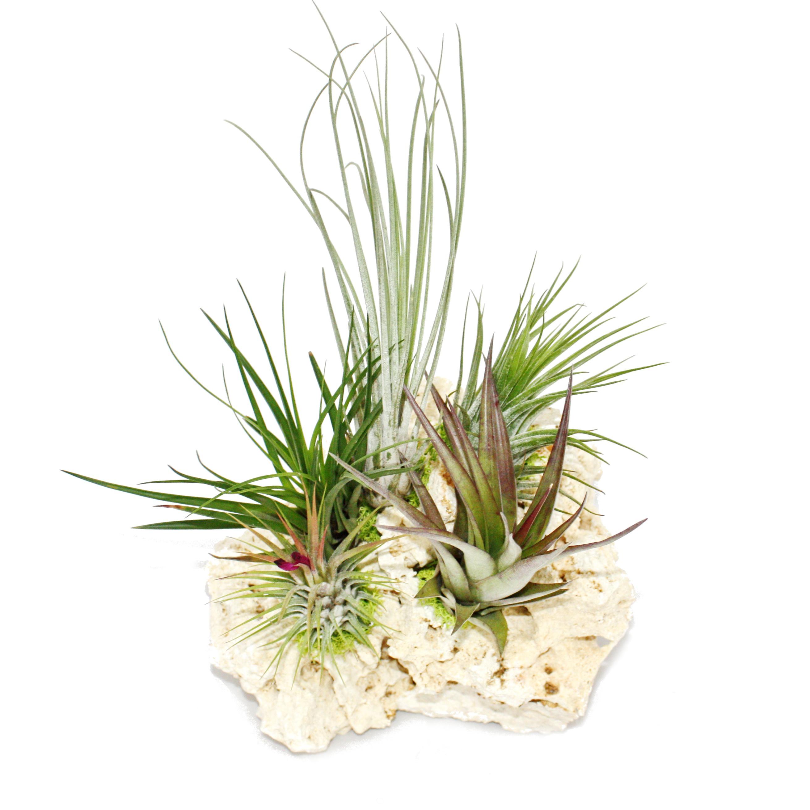 Tillandsien Kaufen tillandsien auf sansibar rock 5 pflanzen ebay