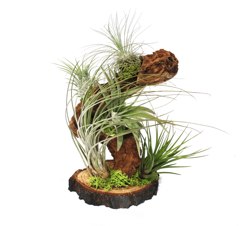 Tillandsien Kaufen tillandsien auf wurzelbaum gross 5 pflanzen ebay