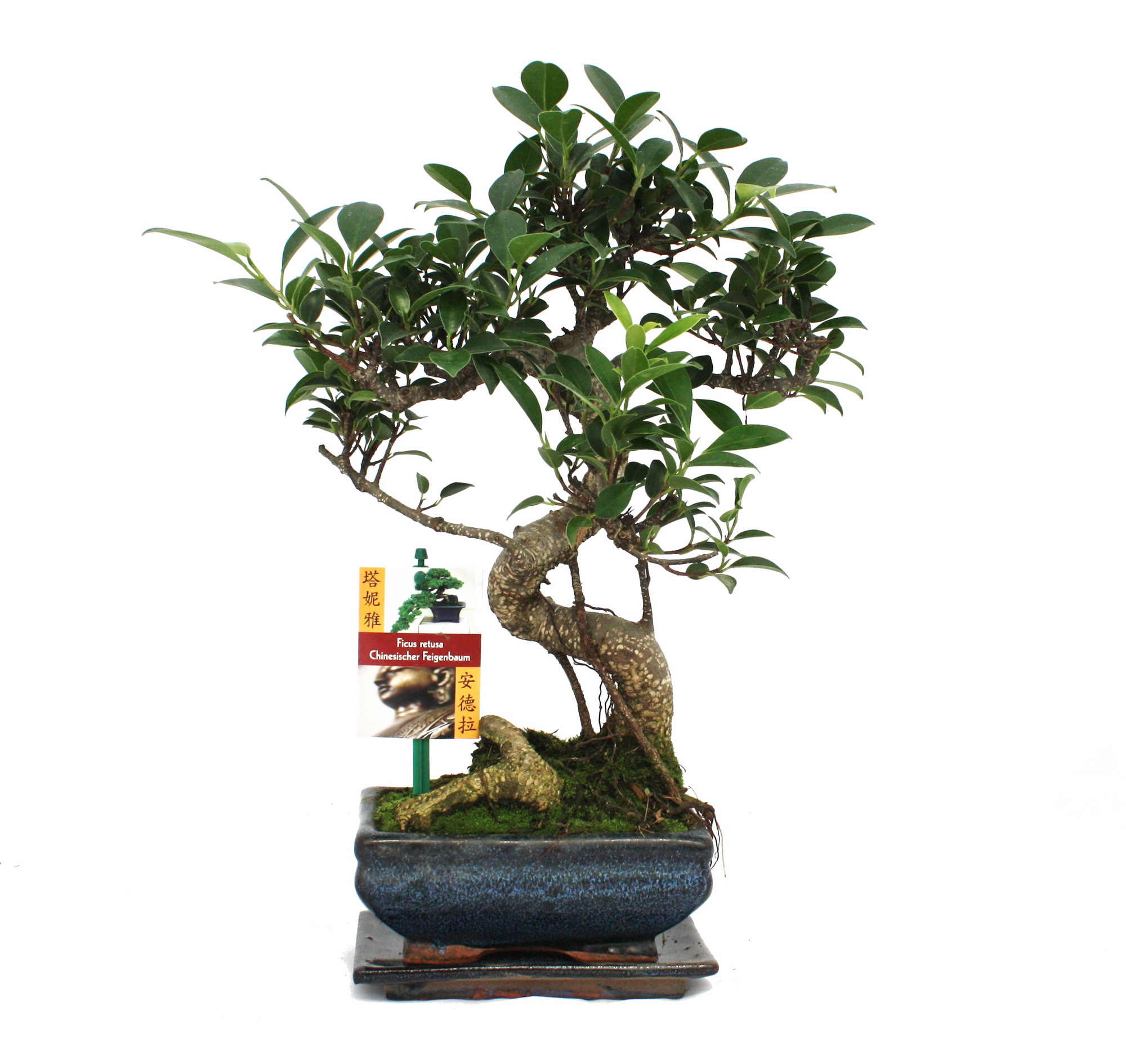 bonsai chinesischer feigenbaum ficus retusa ca 6 jahre ebay. Black Bedroom Furniture Sets. Home Design Ideas