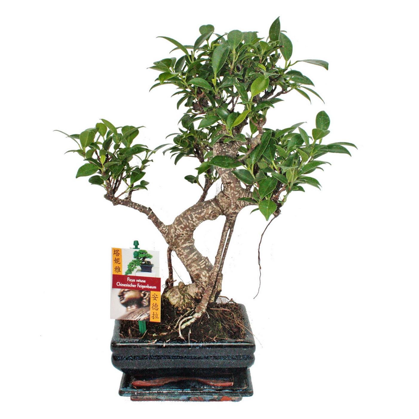 bonsai chinesischer feigenbaum ficus retusa ca 6 jahre ebay. Black Bedroom Furniture Sets. Home Design Ideas