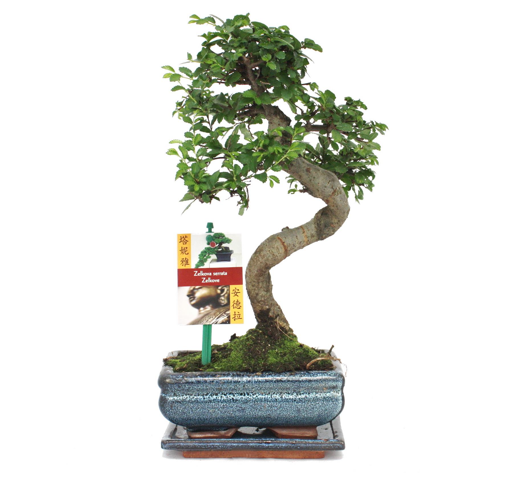 bonsai chinesische ulme ulmus parviflora ca 6 jahre. Black Bedroom Furniture Sets. Home Design Ideas
