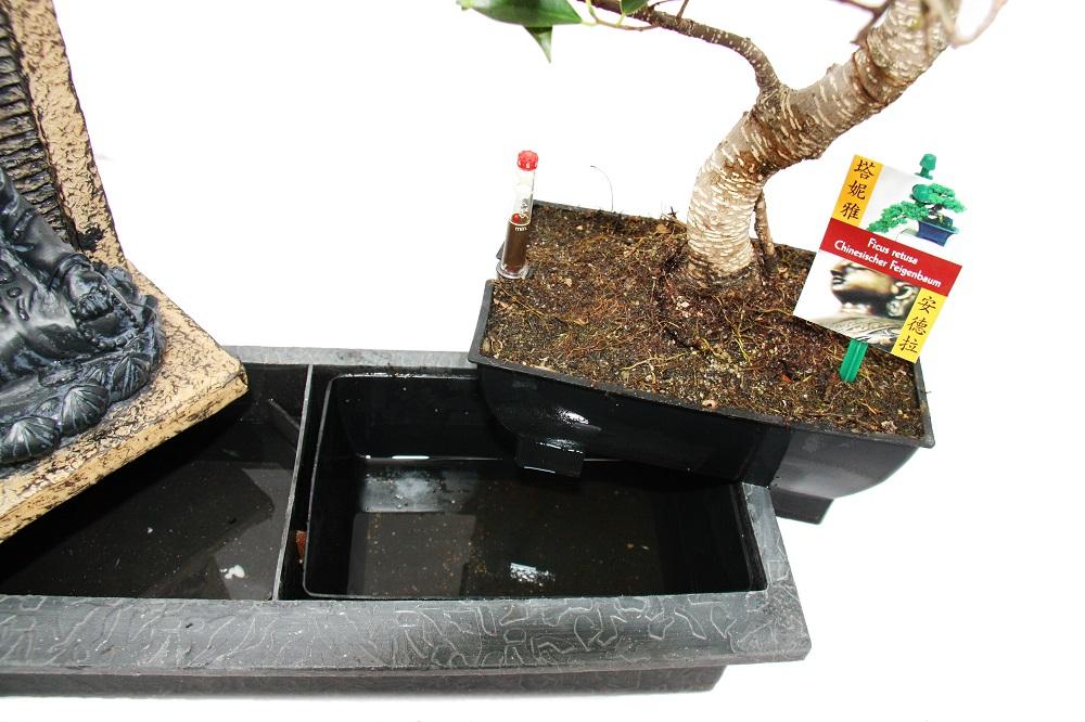 bonsai chino feigenbaum 8 9 a os con buda pozo. Black Bedroom Furniture Sets. Home Design Ideas