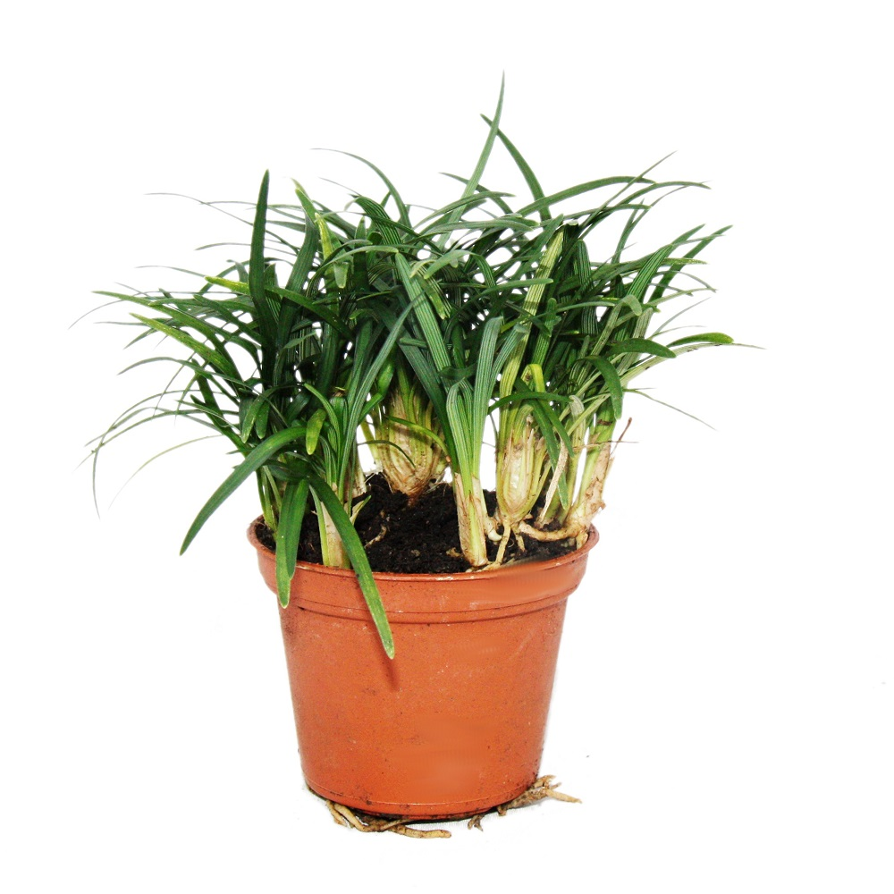 bonsai ophiopogon japonicus nana im 10cm topf ebay. Black Bedroom Furniture Sets. Home Design Ideas
