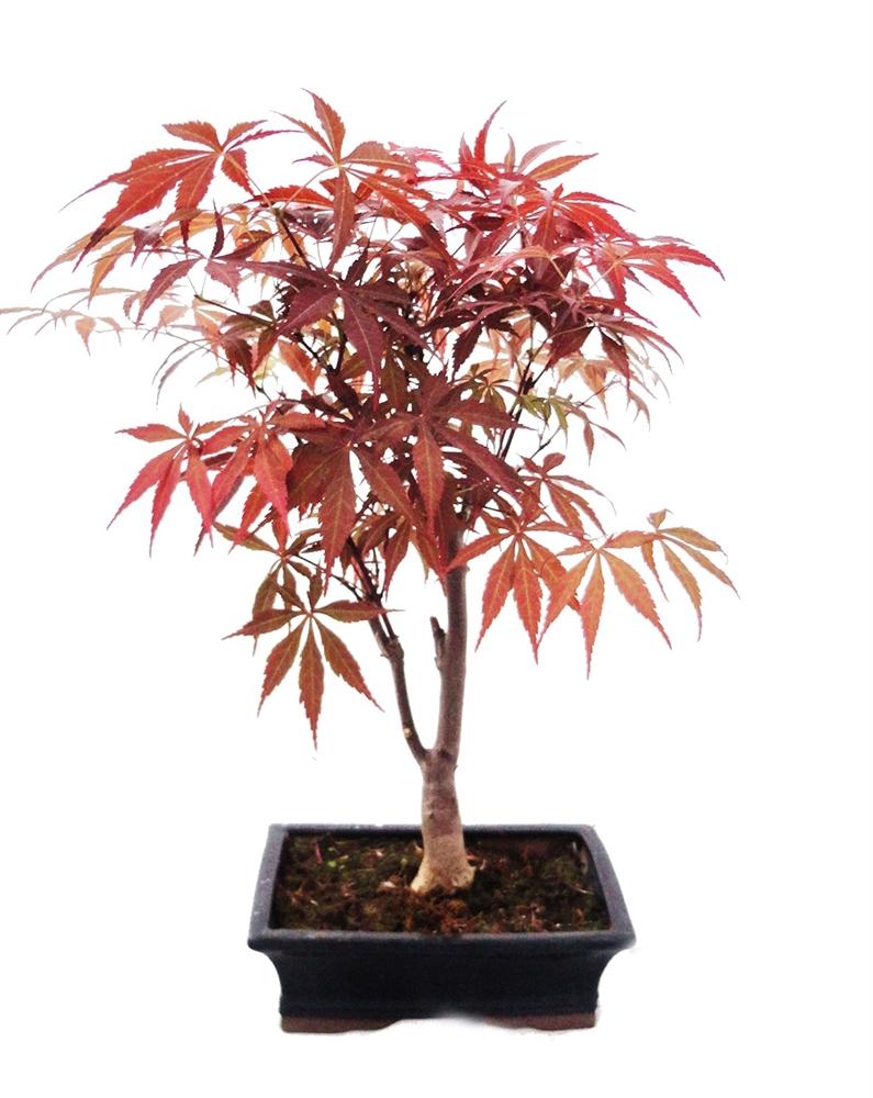 japanischer f cherahorn acer palm atropurpureum 25cm ebay. Black Bedroom Furniture Sets. Home Design Ideas