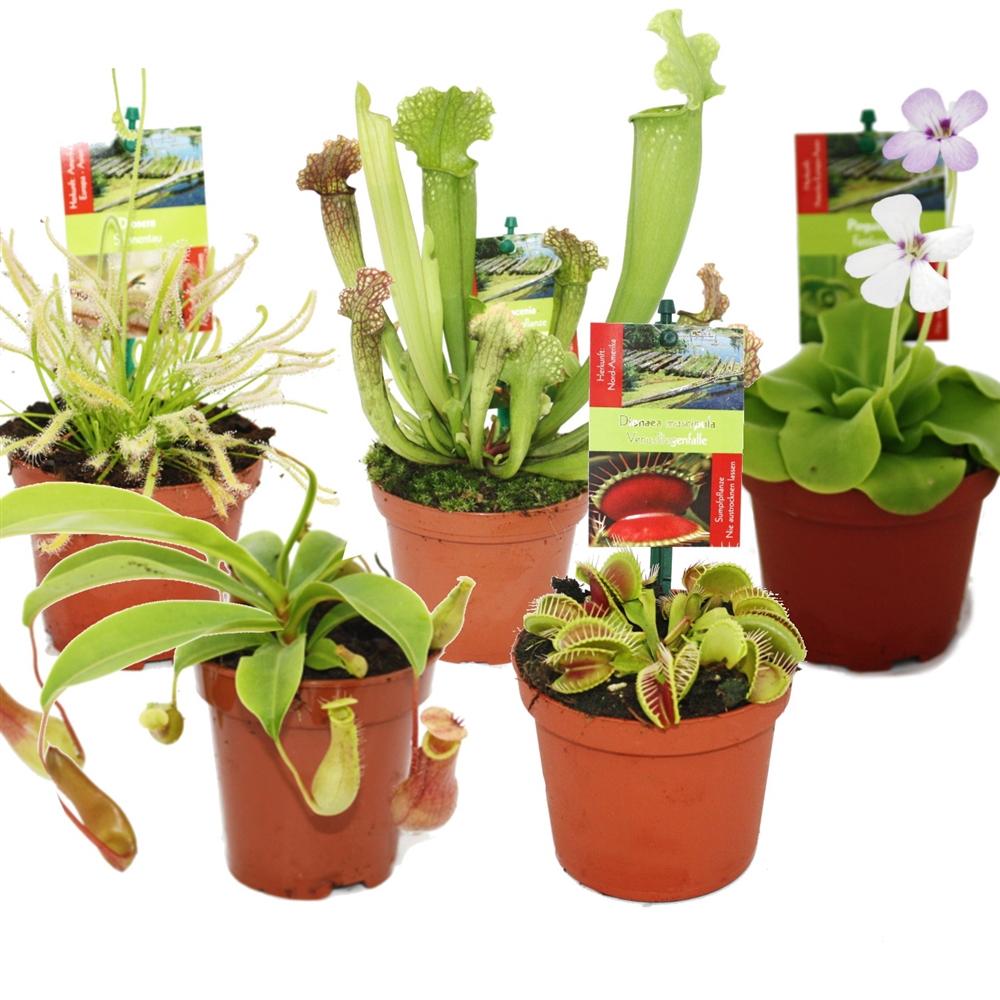 starter set fleischfressende pflanzen 5 pflanzen. Black Bedroom Furniture Sets. Home Design Ideas