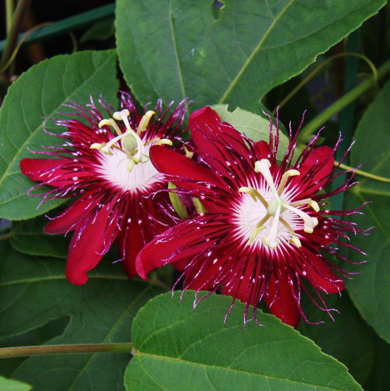 passiflora lady margret passionsblume im 19 cm topf. Black Bedroom Furniture Sets. Home Design Ideas