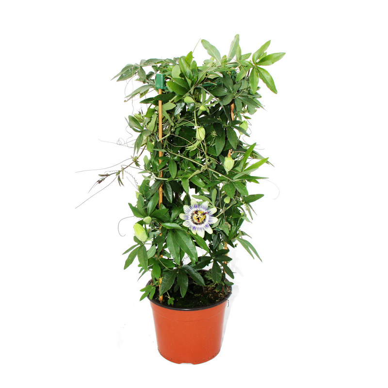 passiflora clear sky passionsblume im 19 cm topf ebay. Black Bedroom Furniture Sets. Home Design Ideas