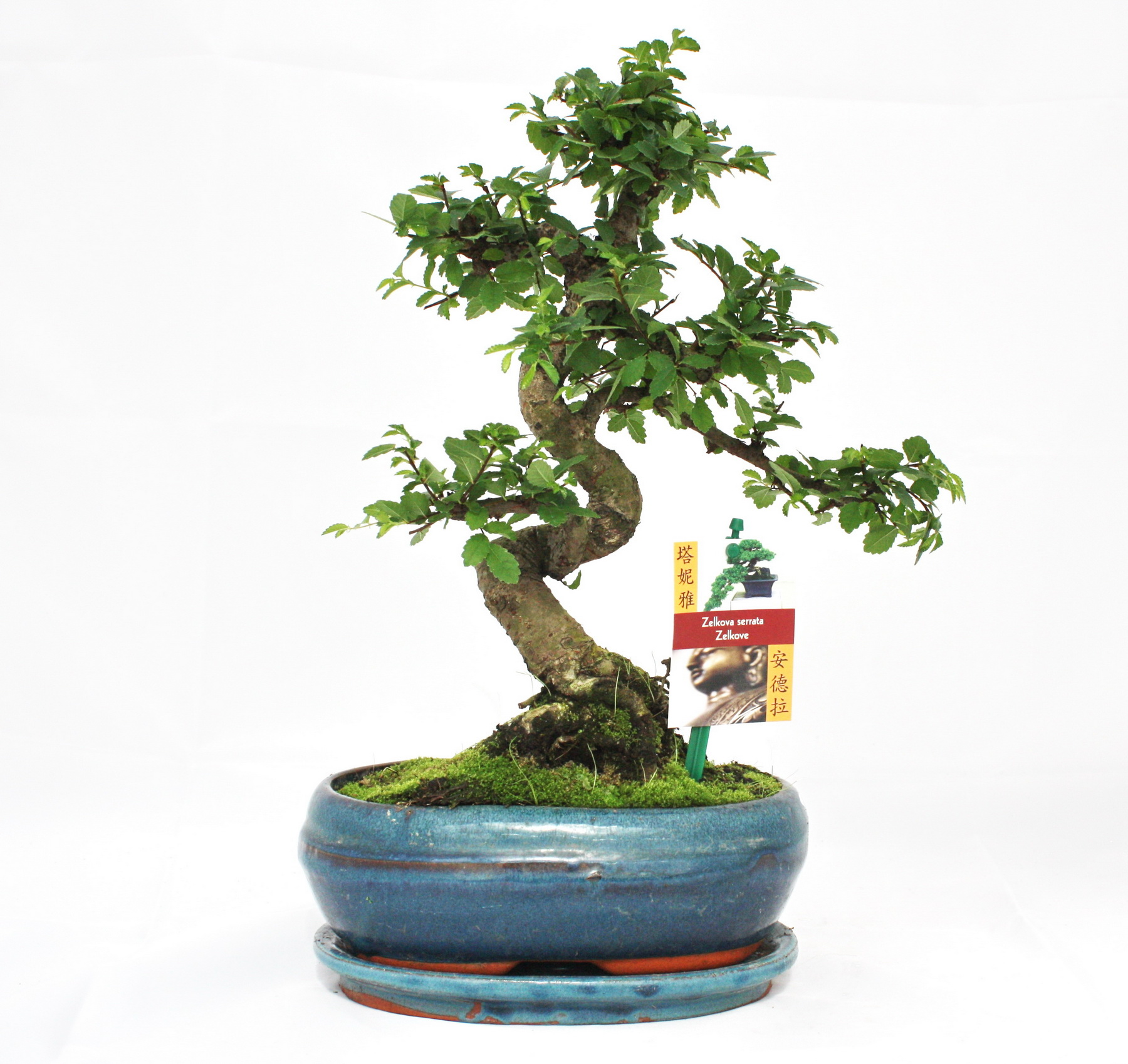 bonsai chinesische ulme ulmus parviflora ca 8 jahre ebay. Black Bedroom Furniture Sets. Home Design Ideas