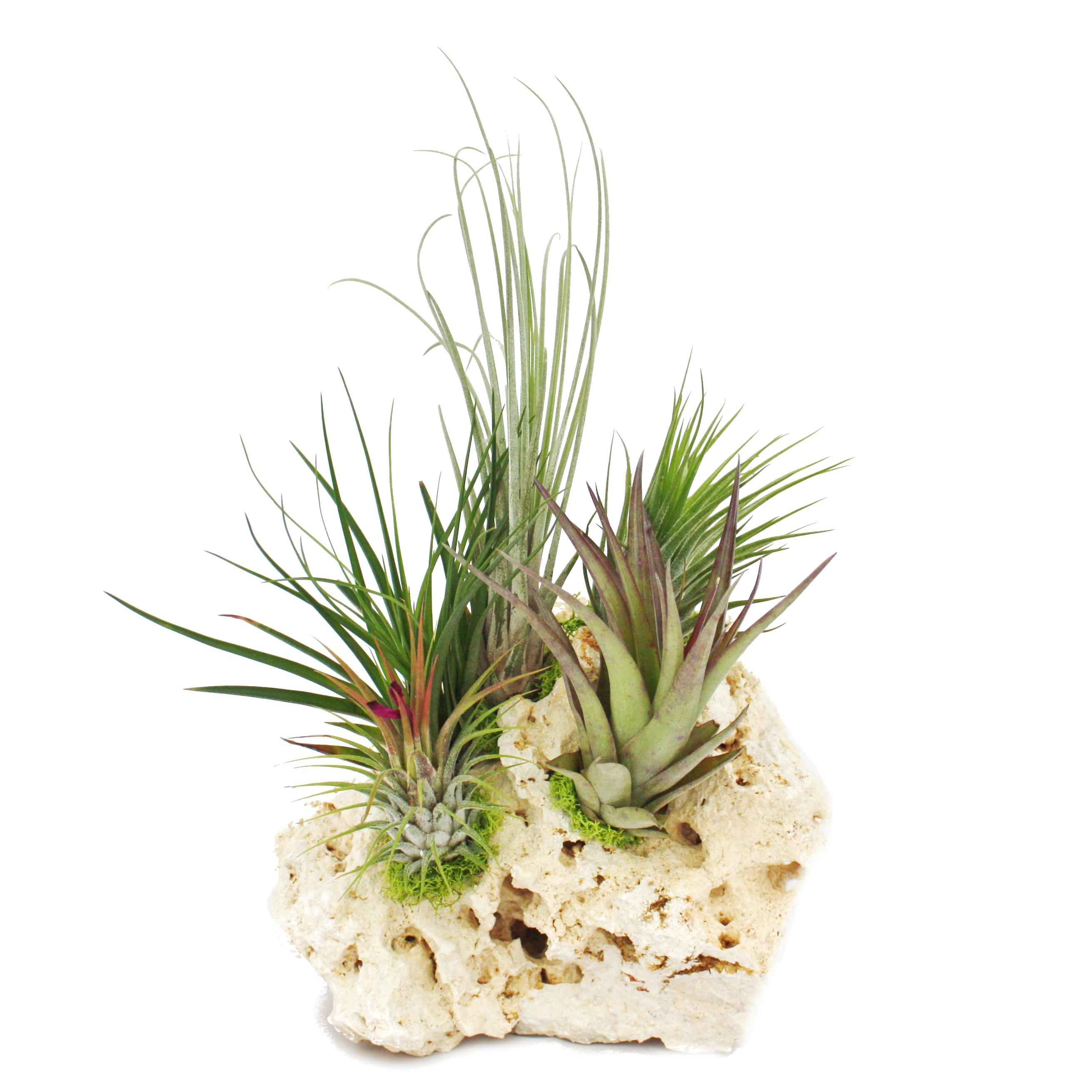 tillandsien auf sansibar rock 5 pflanzen ebay. Black Bedroom Furniture Sets. Home Design Ideas