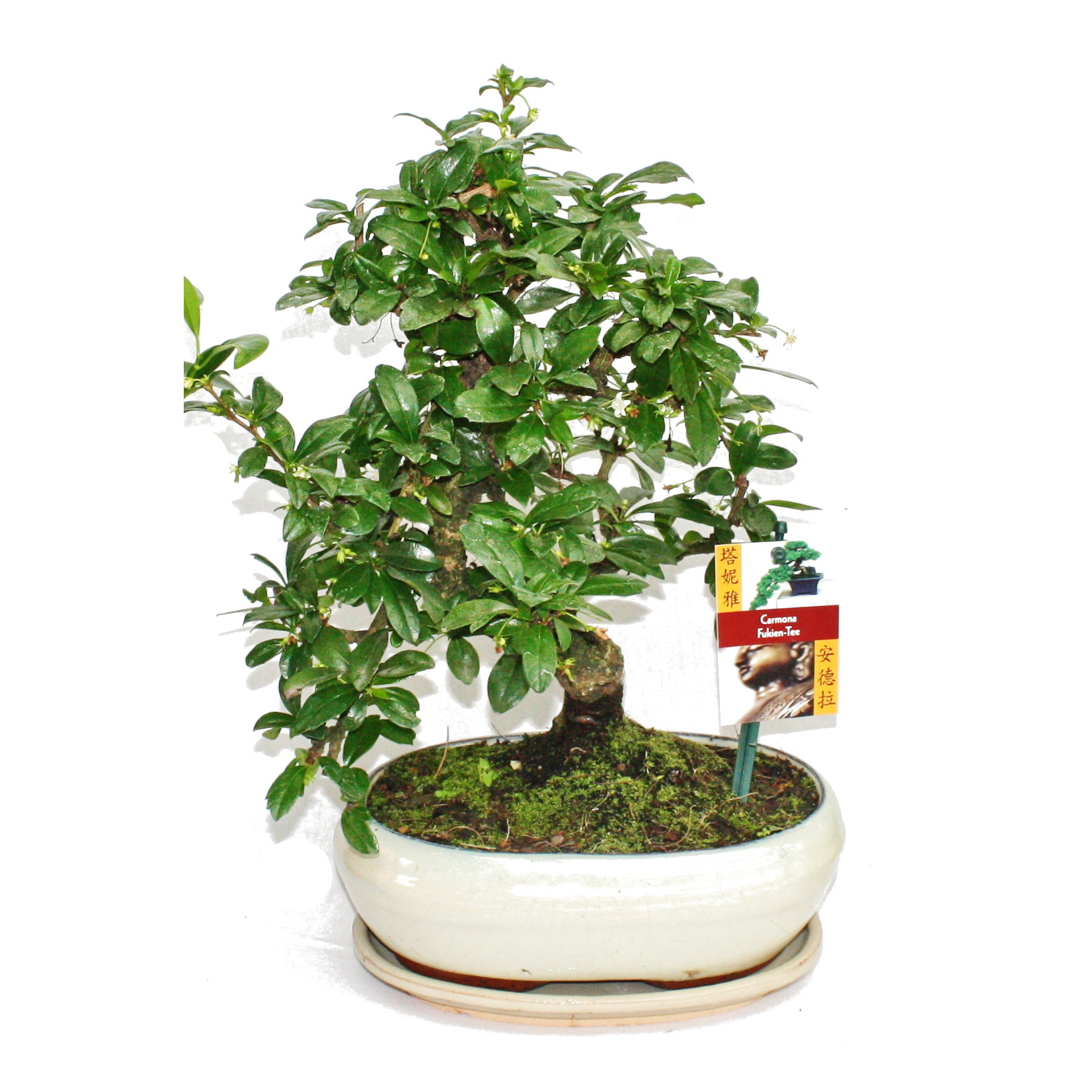 bonsai fukientee carmona microphylla ca 8 jahre ebay. Black Bedroom Furniture Sets. Home Design Ideas