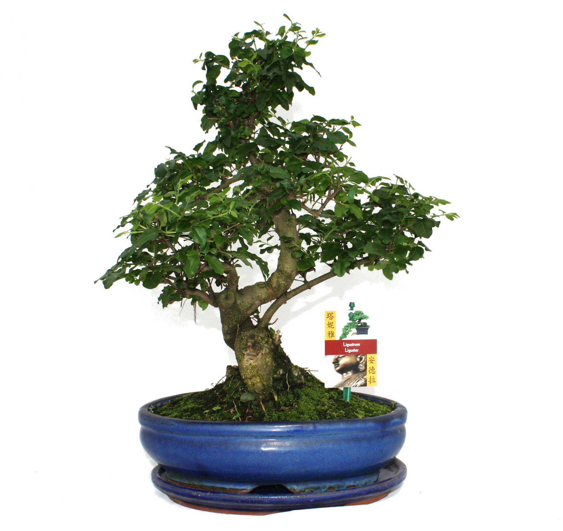 bonsai chinesischer liguster ligustrum sinensis ca 10 jahre ebay. Black Bedroom Furniture Sets. Home Design Ideas