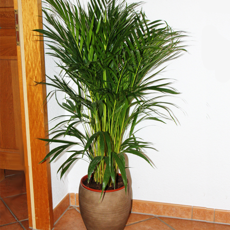 zimmerpalme chrysalidocarpus lutescens areca palme zimmerpflanze ebay. Black Bedroom Furniture Sets. Home Design Ideas