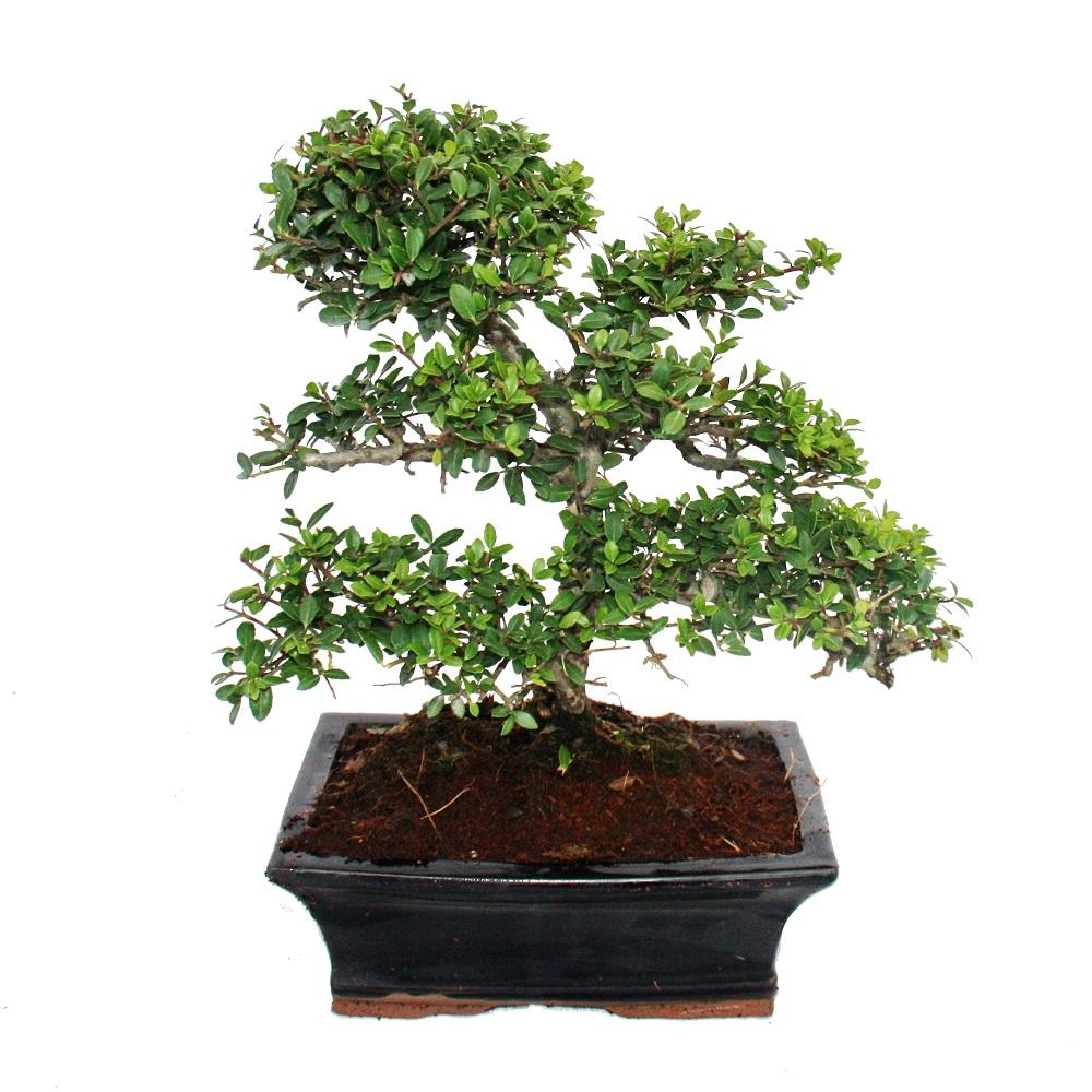 Bonsai ilex crenata japanische stechpalme ca 9 jahre ebay for Bonsai pianta