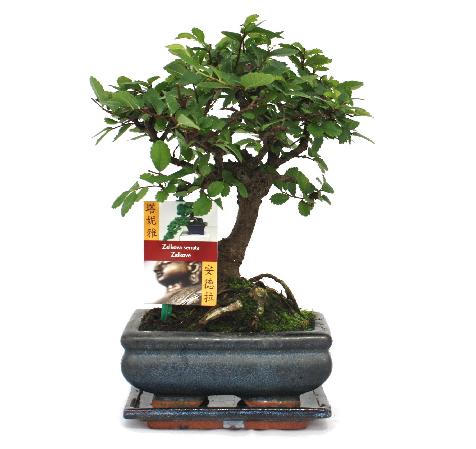 bonsai chinesische ulme ulmus parviflora ca 6 jahre kugelform. Black Bedroom Furniture Sets. Home Design Ideas
