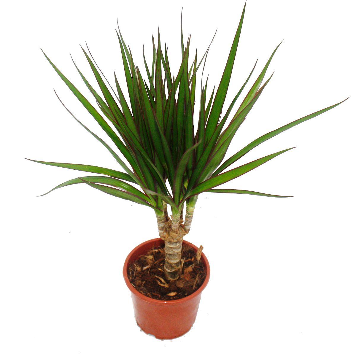 drachenbaum dracaena marginata 1 pflanze. Black Bedroom Furniture Sets. Home Design Ideas