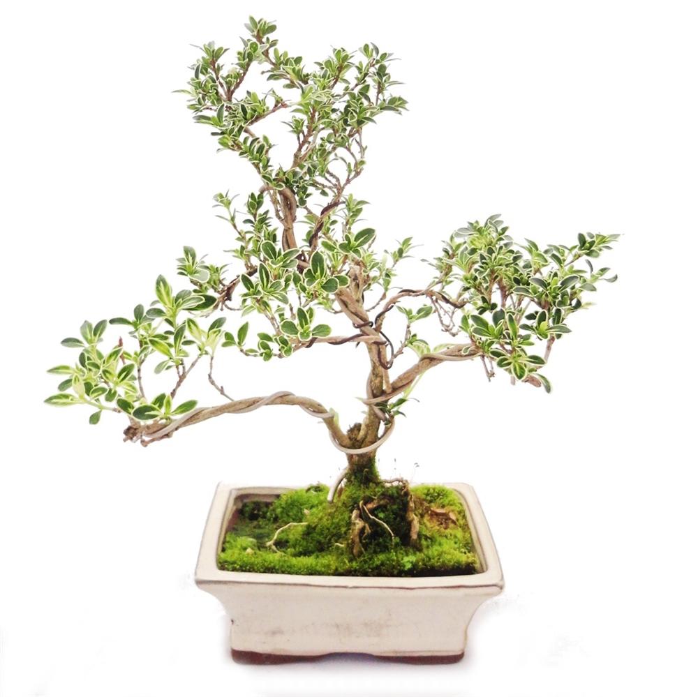 outdoor bonsai serissa foetida variegata junischnee baum der 1000 sterne 1 ebay. Black Bedroom Furniture Sets. Home Design Ideas
