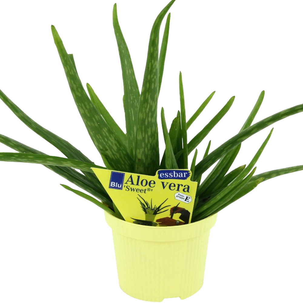 aloe vera 39 sweet 39 aloe vera barbadensis miller. Black Bedroom Furniture Sets. Home Design Ideas