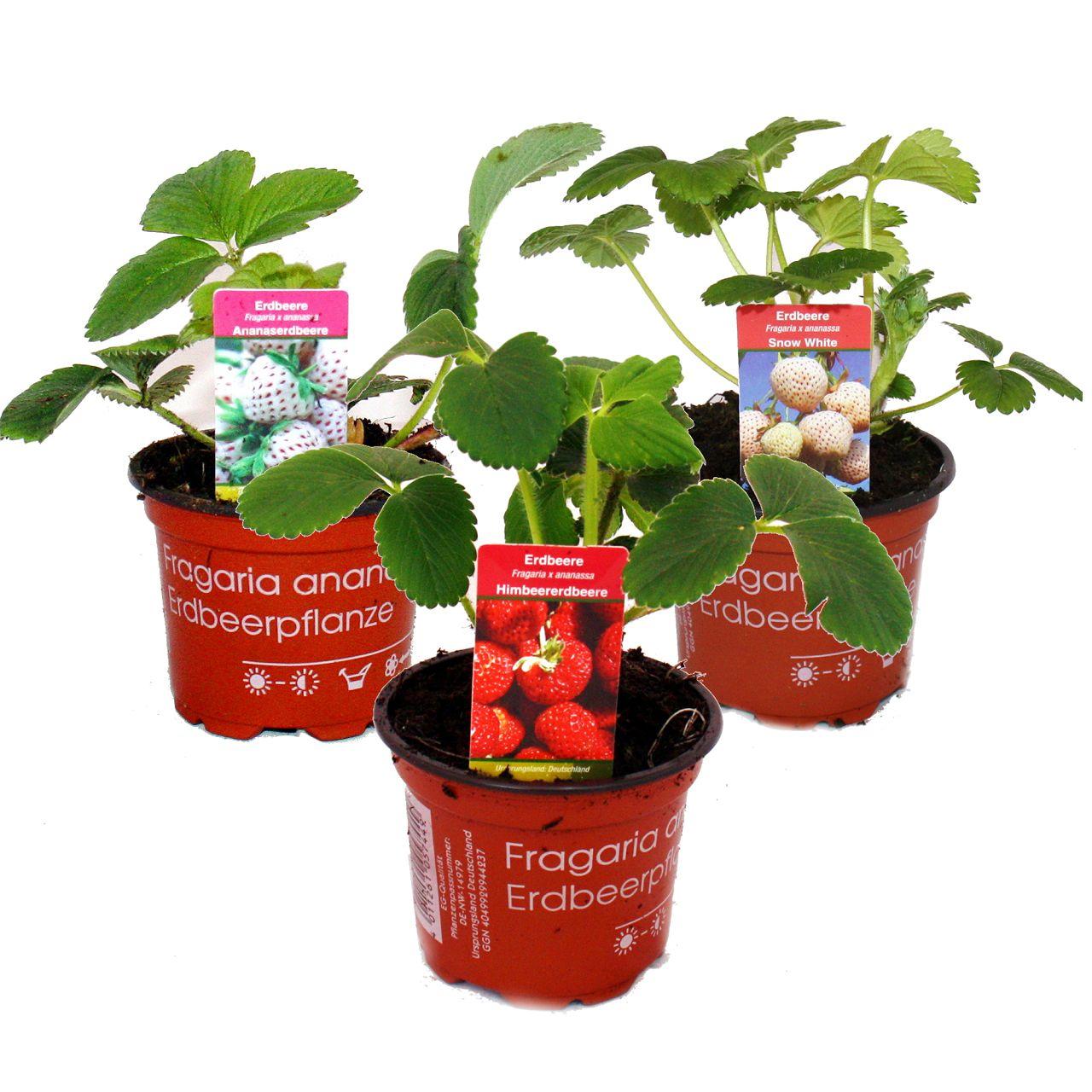 ausgefallene erdbeer sorten 3 pflanzen weisse ananas und himbeer erdbeere ebay. Black Bedroom Furniture Sets. Home Design Ideas