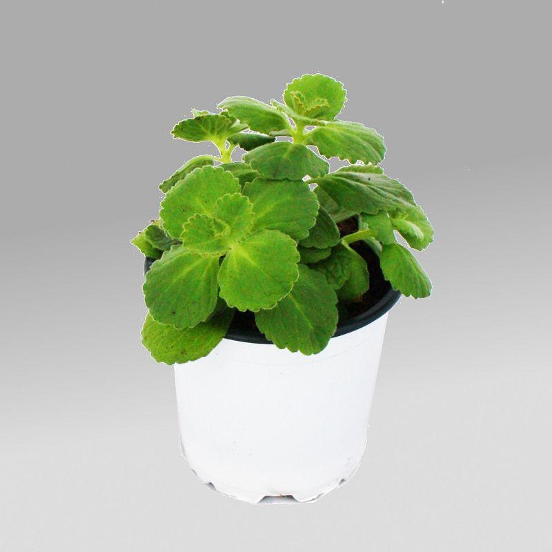 coleus canin verpiss dich pflanze 3 pflanzen ebay. Black Bedroom Furniture Sets. Home Design Ideas
