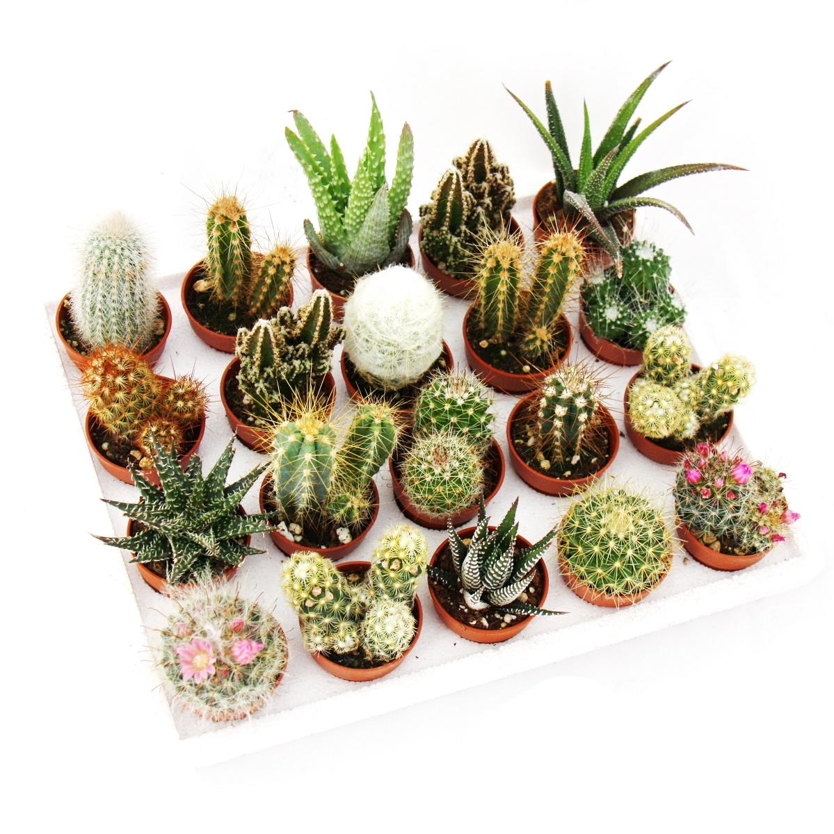 mini kakteen und sukkulenten set mit 20 pflanzen ebay. Black Bedroom Furniture Sets. Home Design Ideas