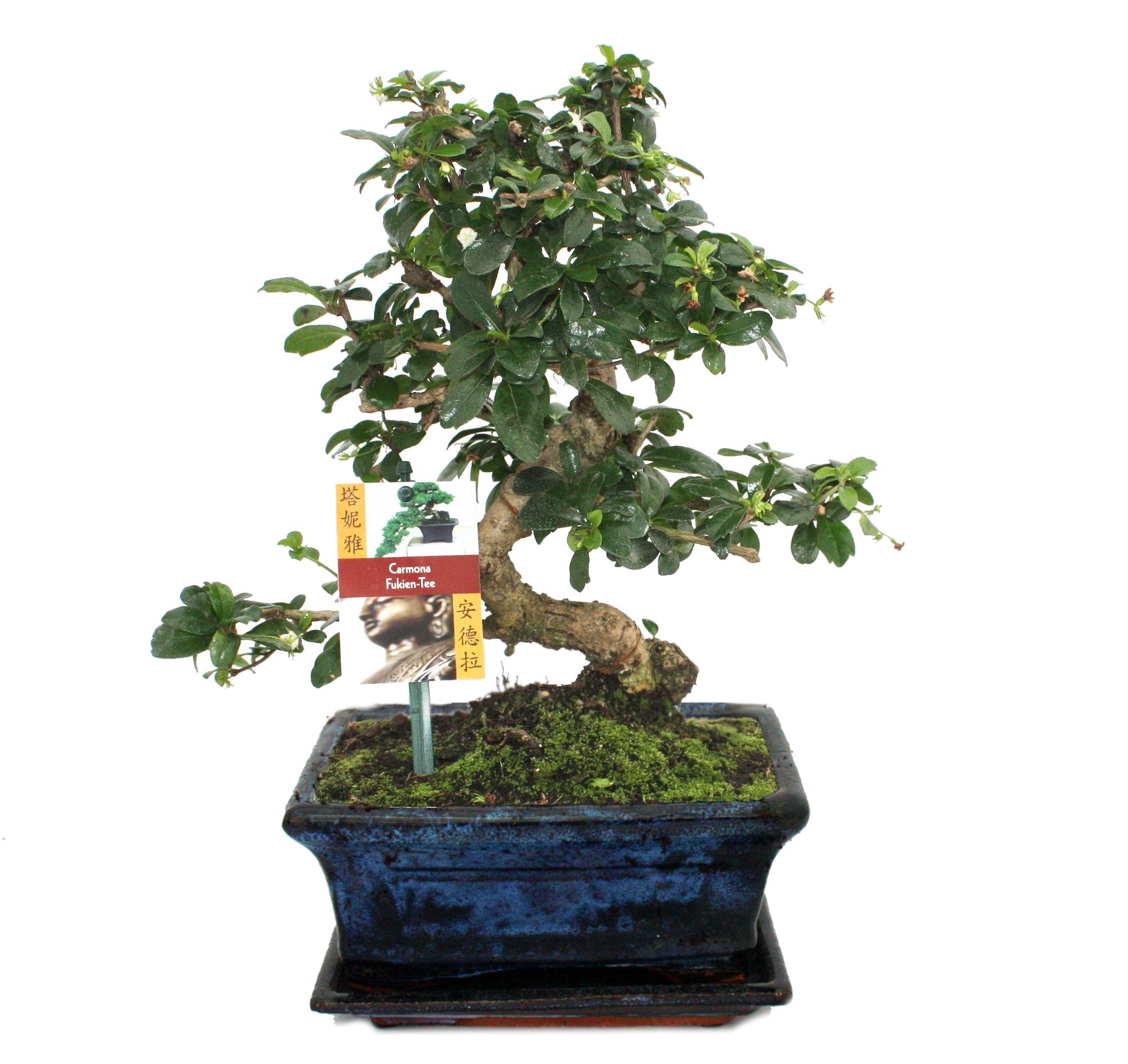 bonsai fukientee carmona microphylla ca 8 jahre ebay. Black Bedroom Furniture Sets. Home Design Ideas