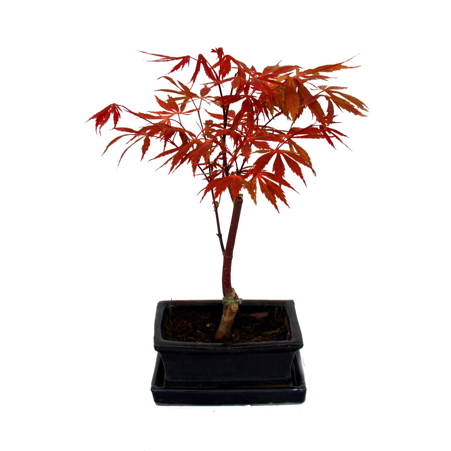 japanischer f cher ahorn acer palmatum 15cm schale ebay. Black Bedroom Furniture Sets. Home Design Ideas