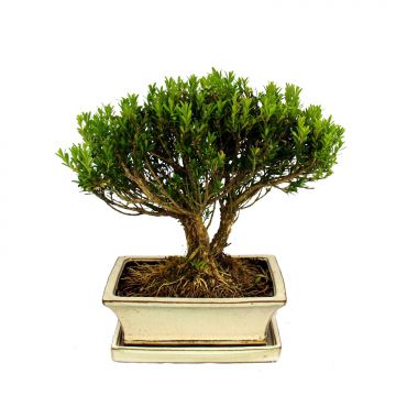 bonsai buchsbaum buxus herlandii 20cm schale buxbaum. Black Bedroom Furniture Sets. Home Design Ideas